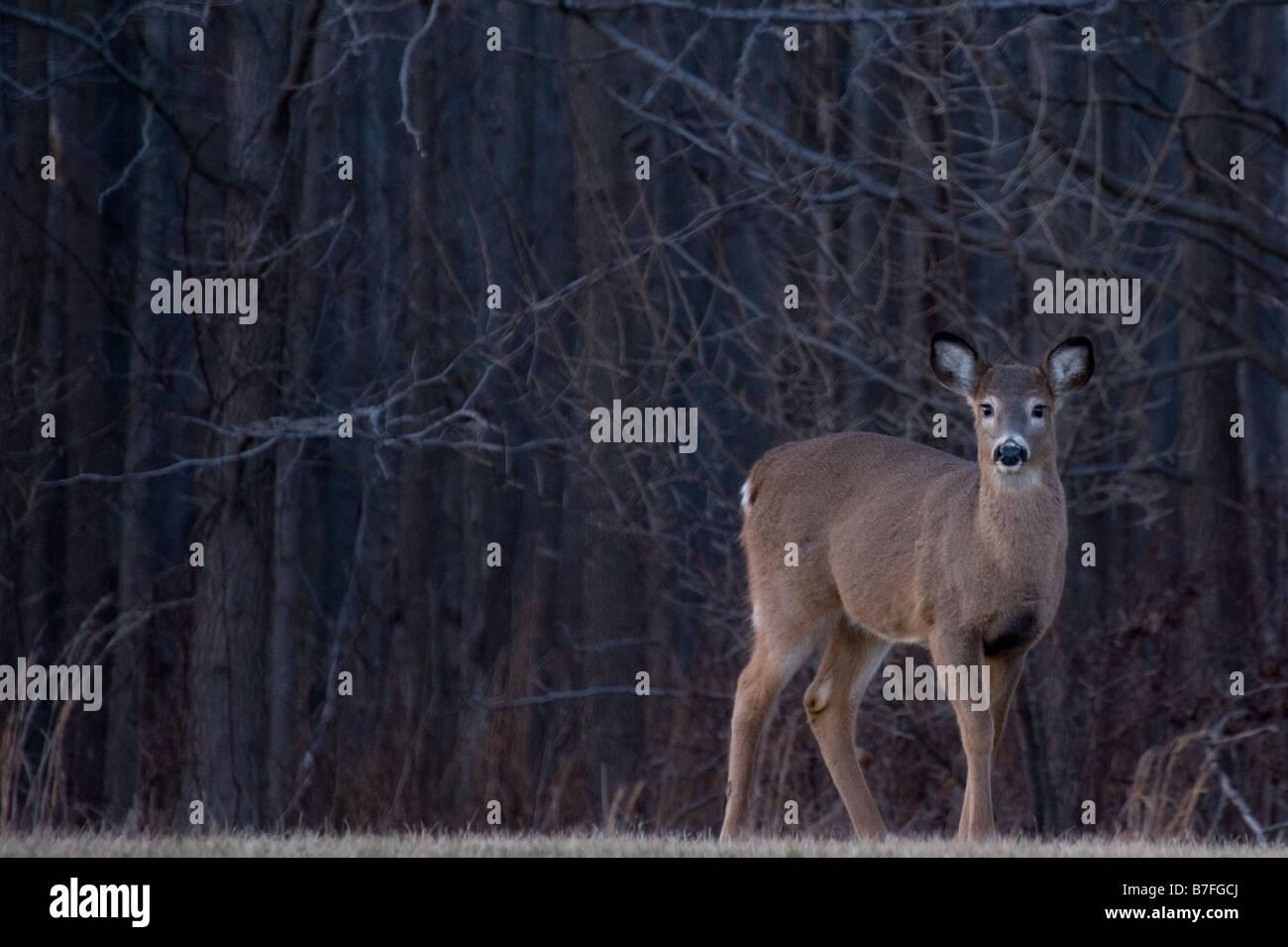 Hirsche im Wald Stockbild