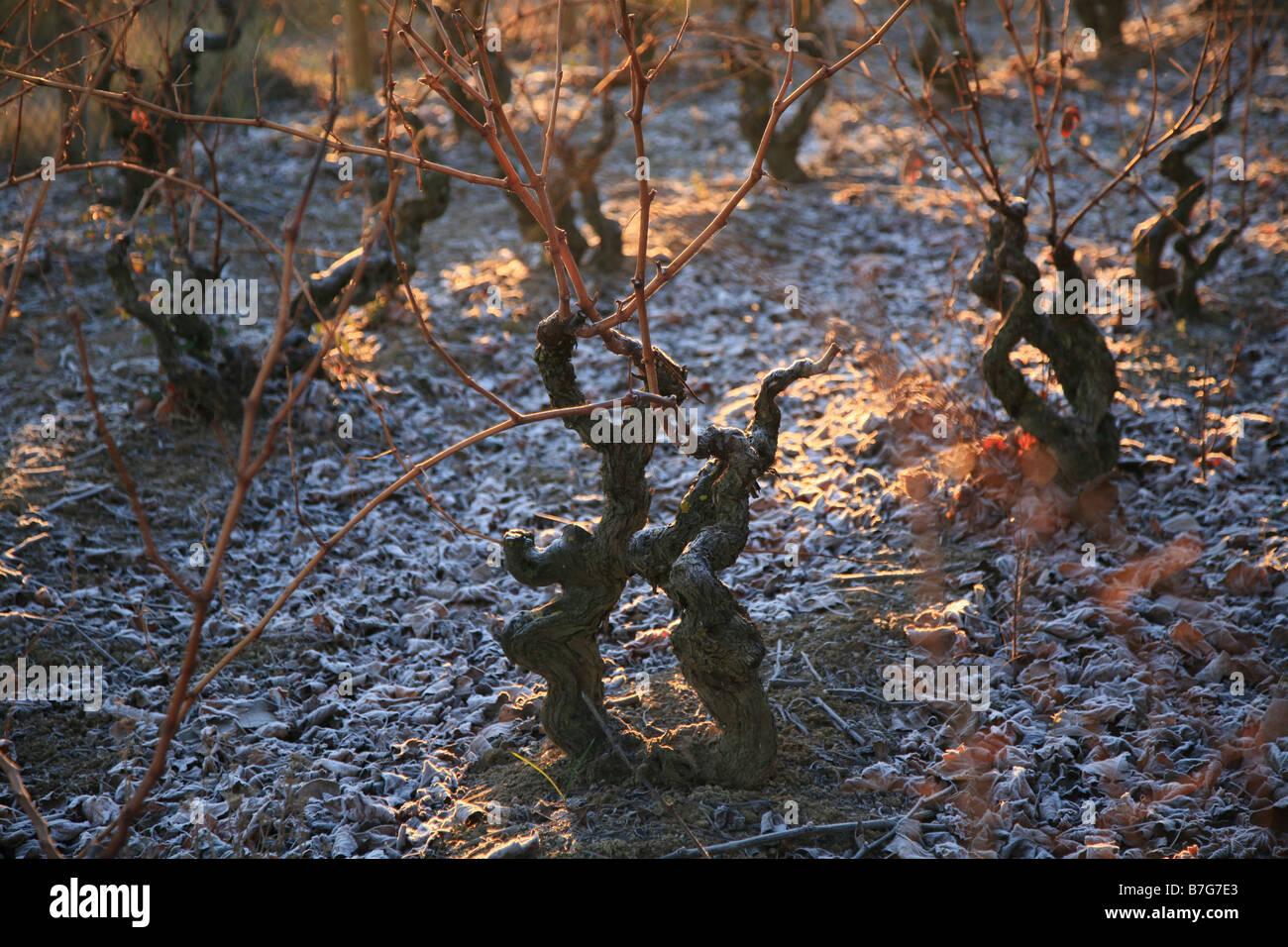 Rebe im winter Stockbild