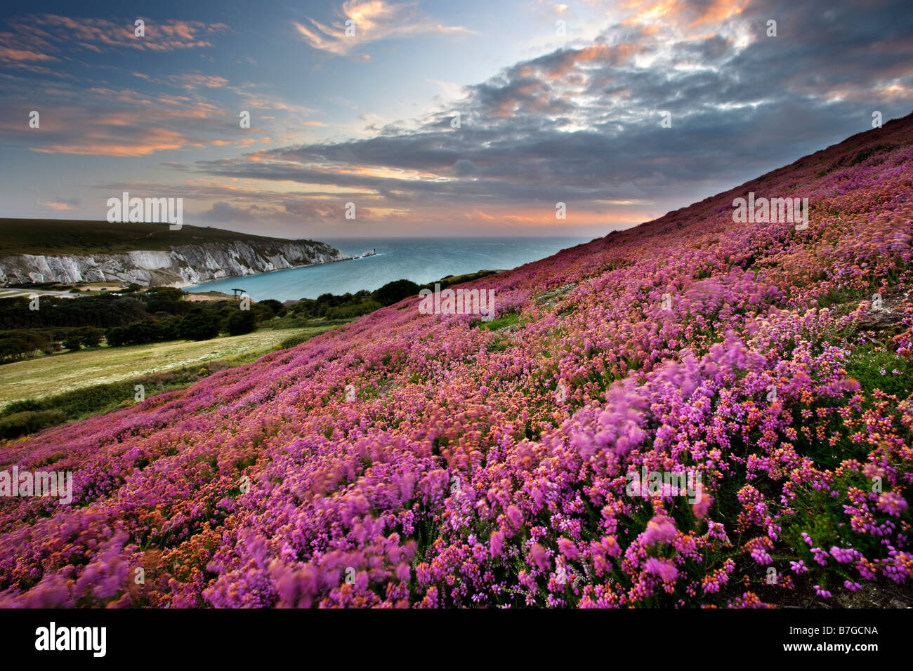 Heather auf Headon Warren mit Blick auf The Needles, Isle Of Wight Stockfoto