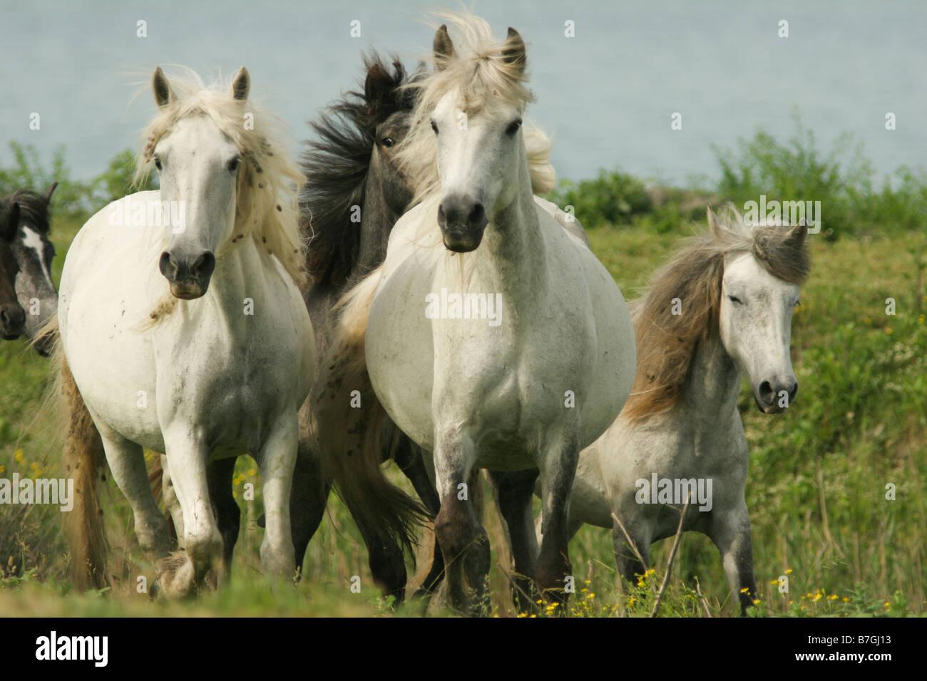 Pferde, Hengst, Huftiere, Säugetiere, Bewegung Stockbild