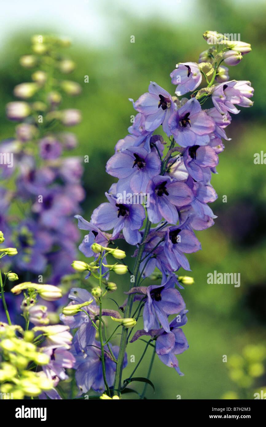 Garten-Rittersporn (Delphinium Elatum), Sorte: Lanzentraeger, Blüte Stockbild