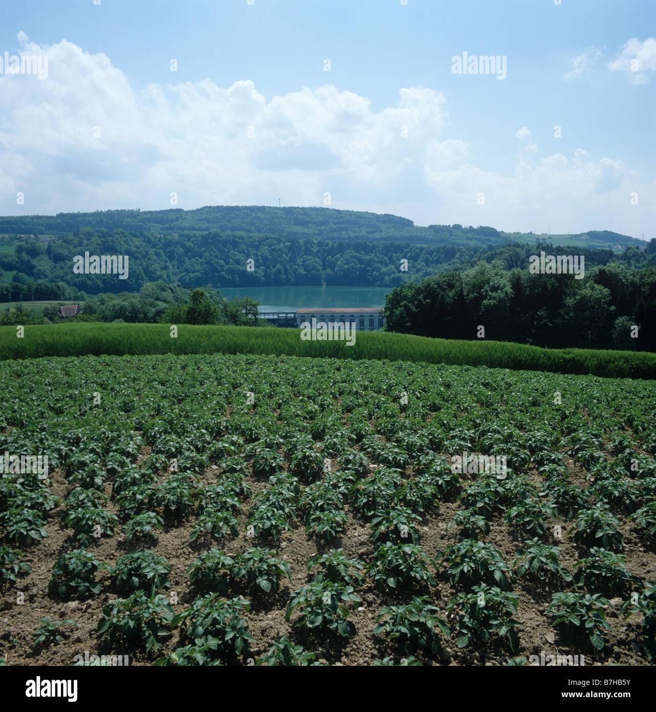 Junge Kartoffelernte in Ackerland rund um einen See der Schweiz Stockbild