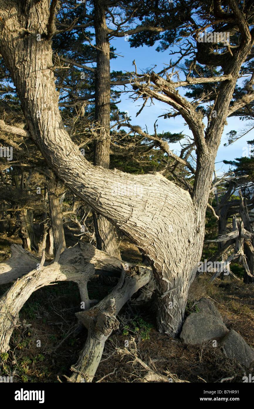 Ungewöhnliche Web wie Wachstum auf Ast, Monterey-Zypresse, Point Lobos State Reserve, Big Sur, Kalifornien, Stockbild
