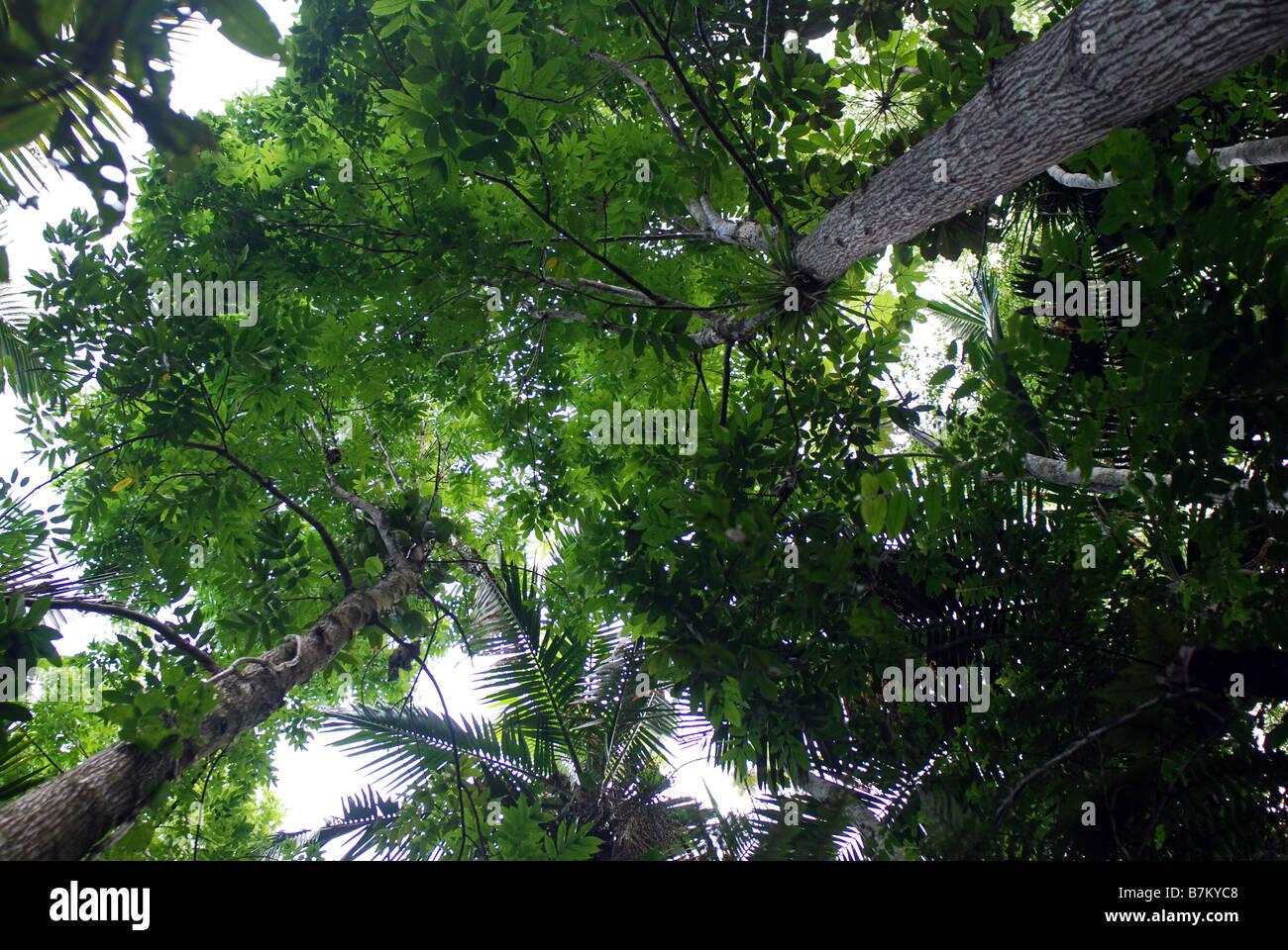 Mahagonibäume  Mahagonibäume, Las Casas De La Selva, Patillas, Puerto Rico ...