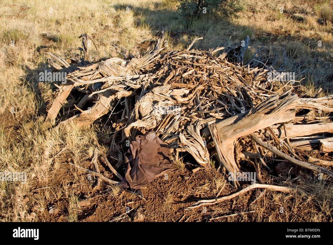 Stephans Woodrat Midden (Nest) Neotoma Stephensi in der Nähe von Showlow Arizona USA 17 Juli Midden Polypodiaceae Stockbild