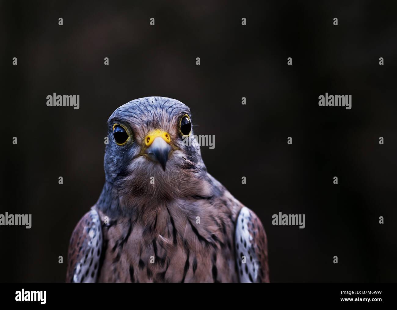 Ein männlicher Turmfalke Falco tinnunculus Stockbild