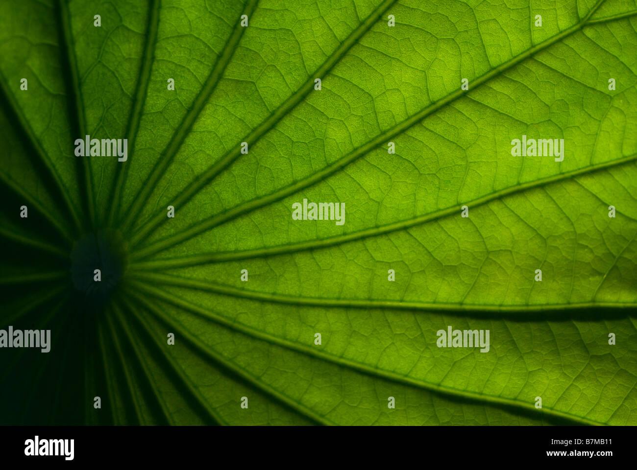 Lotus Blatt Stockbild