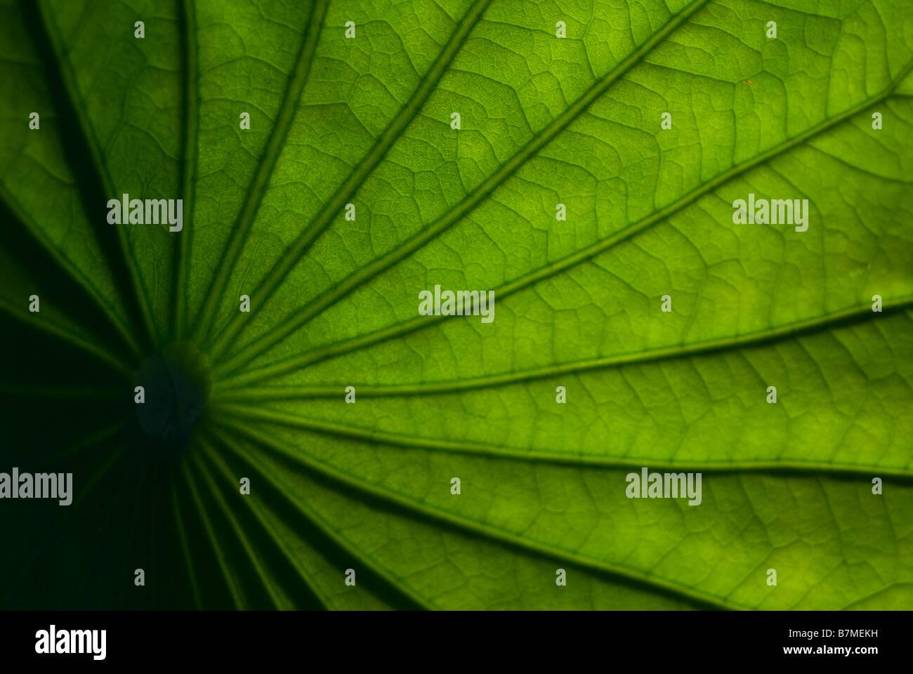Lotusblatt Stockbild