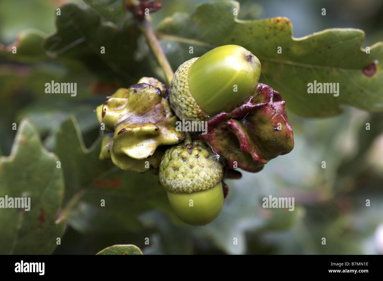 Oak Pest Stockfotos & Oak Pest Bilder - Alamy