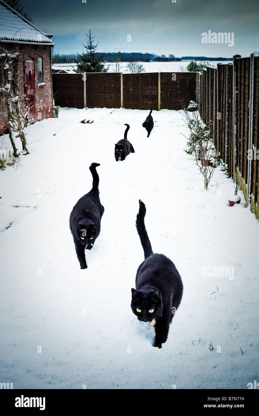 Vier glückliche schwarze Katzen in einem Garten im tiefen Schnee PR Stockbild