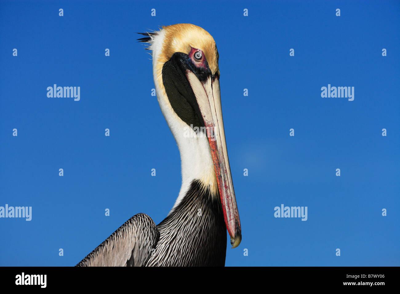 Porträt von einem braunen Pelikan (Pelecanus Occidentalis) in Key West, Florida. Stockbild