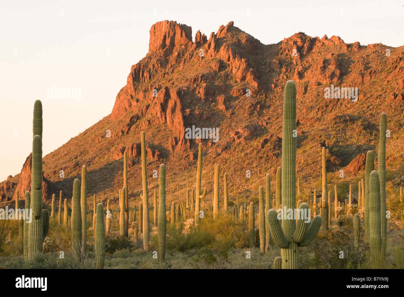 Saguaro Kaktus (Carnegiea Gigantea) Alamo Canyon, Organ Pipe National Monument, Arizona, Sonnenuntergang Stockfoto