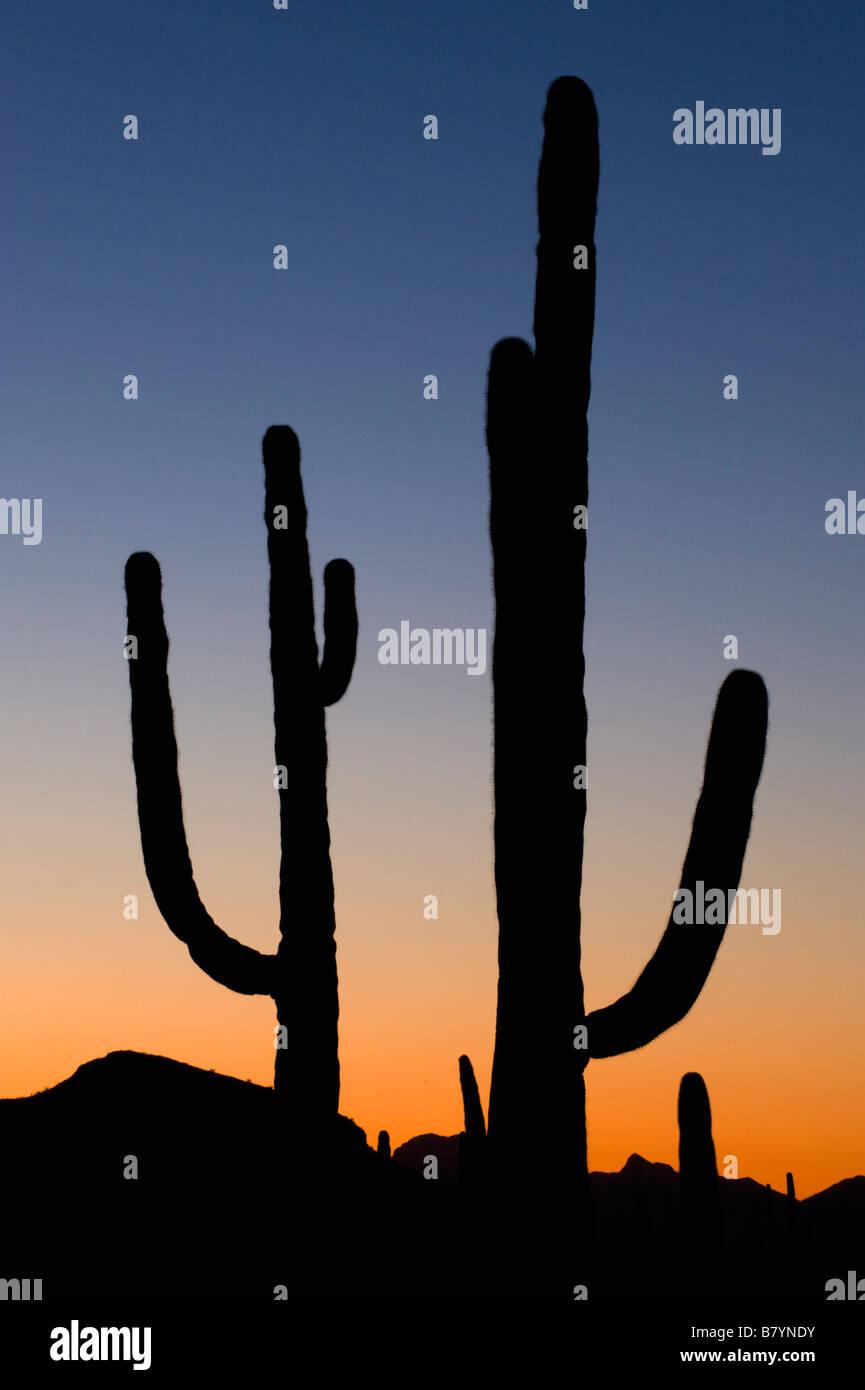 Saguaro Kaktus Carnegiea Gigantea Sonnenuntergang Organ Pipe National Monument Arizona Stockfoto