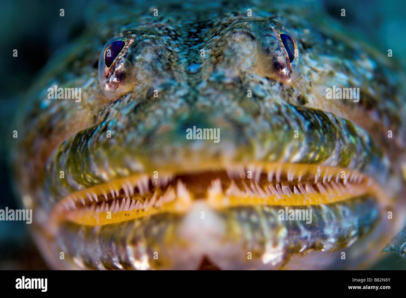 Eidechsenfisch in der Kanarischen Inseln, Zähne, Tauchen, Meer, Meer, Leben im Meer, Leben, Unterwasser, Seefisch, Stockbild