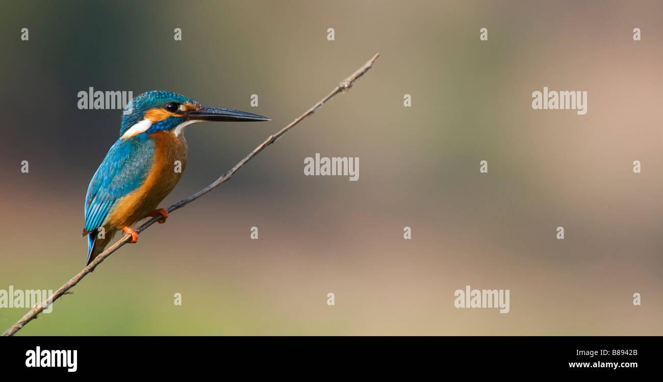 Gemeinsame Europäische Kingfisher thront auf einem Stick über einen Brunnen in der indischen Landschaft. Andhra Stockfoto