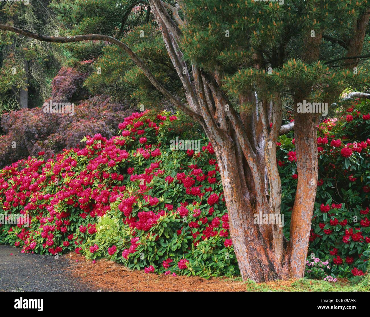 kubota garten seattle wa bl henden rhododendren und rote. Black Bedroom Furniture Sets. Home Design Ideas