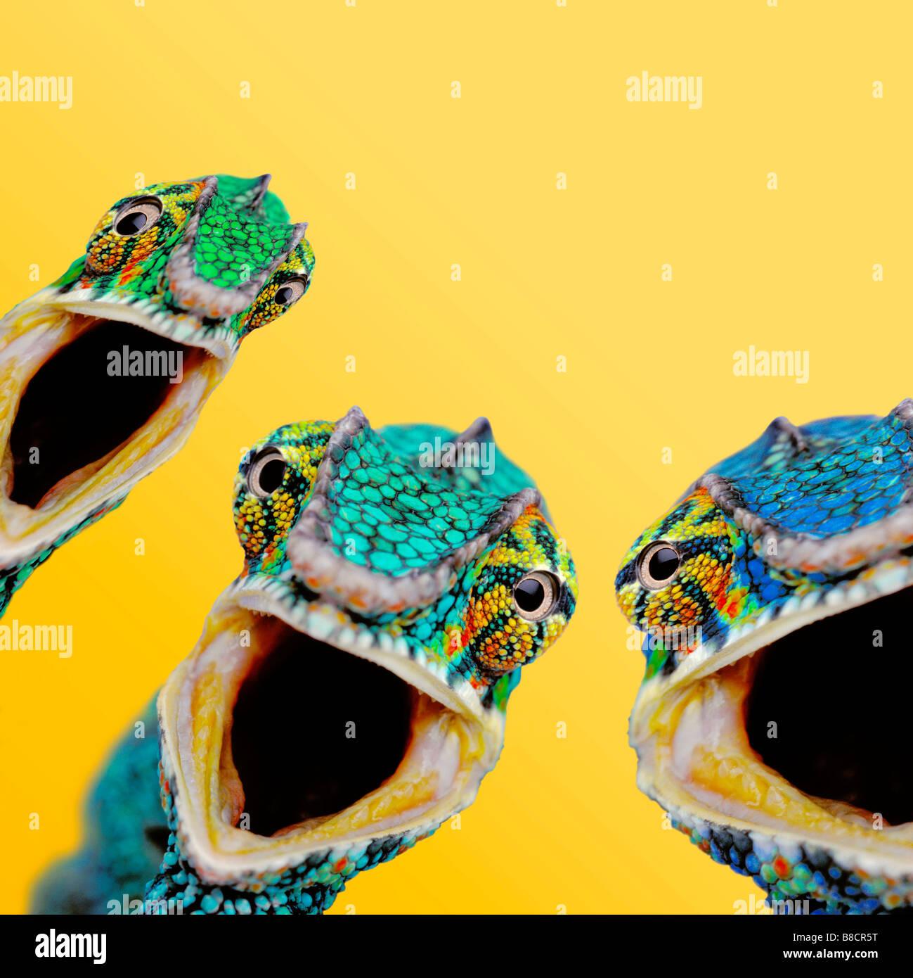 FL6516, Kitchin/Hurst; Drei überrascht Chamäleons, gelber Hintergrund Stockbild