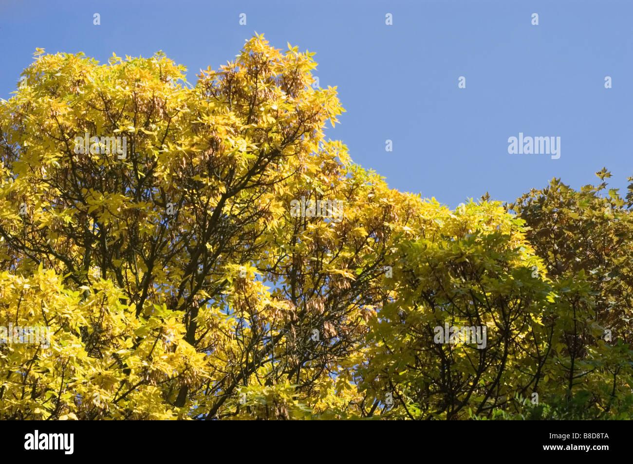 Gelbes Herbstlaub rot-Esche, Fraxinus Pennsylvanica Crispa, Oleaceae Stockbild