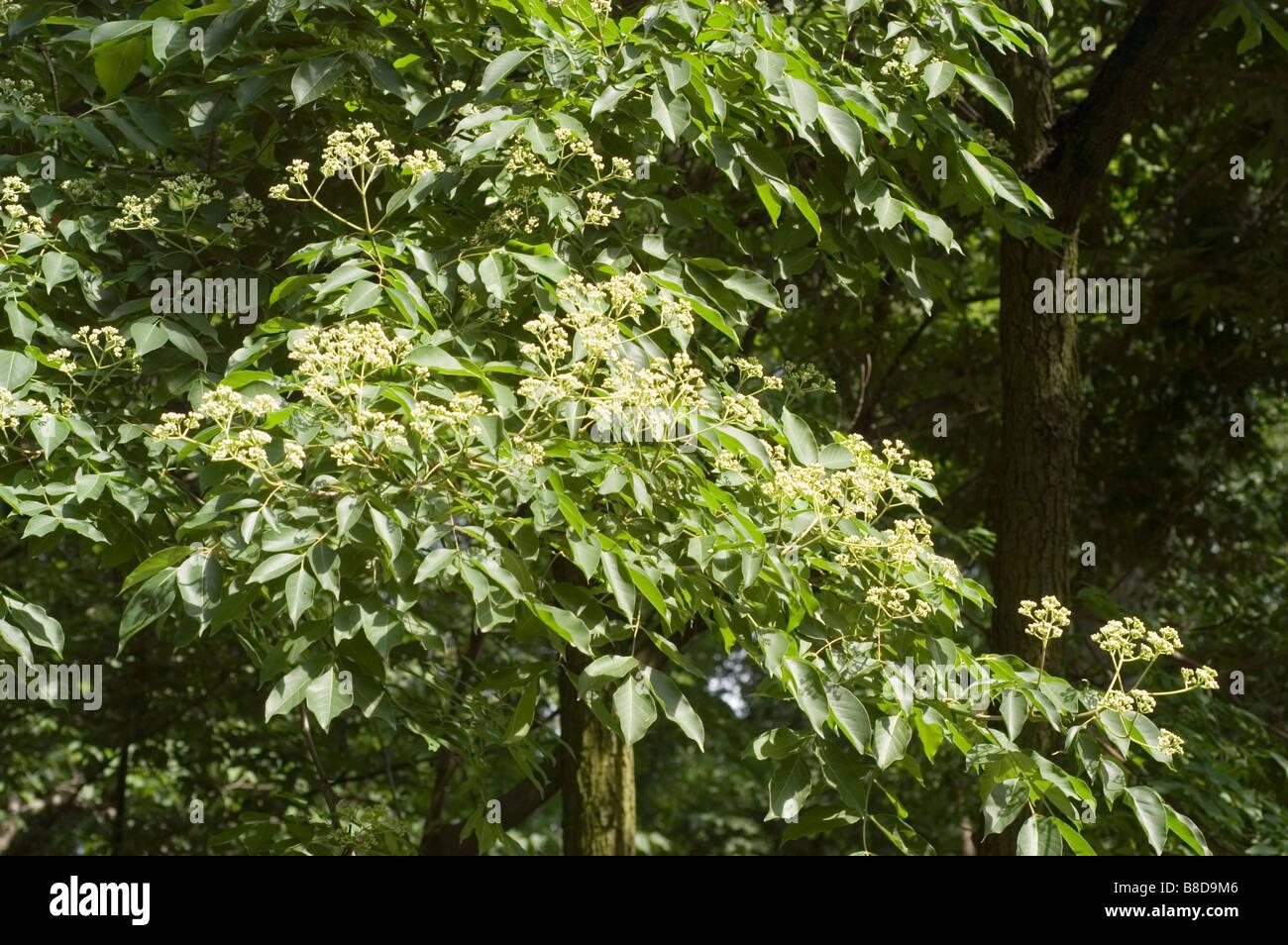 Grüne Blätter auf Koreanisch Evodia oder Biene Biene Ast Rutaceae, Tetradium Daniellii, Korea, Asien Stockbild