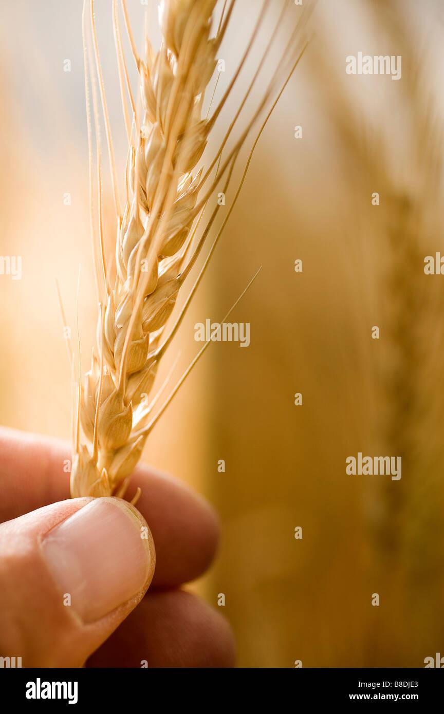 Leiter der Weizen statt zwischen den Fingern, Saskatchewan, Kanada Stockbild