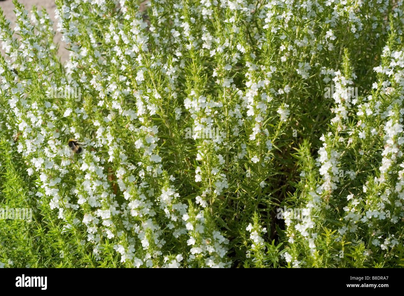 Weiße Blüten von Winterbohnenkraut Satureja montana Stockbild