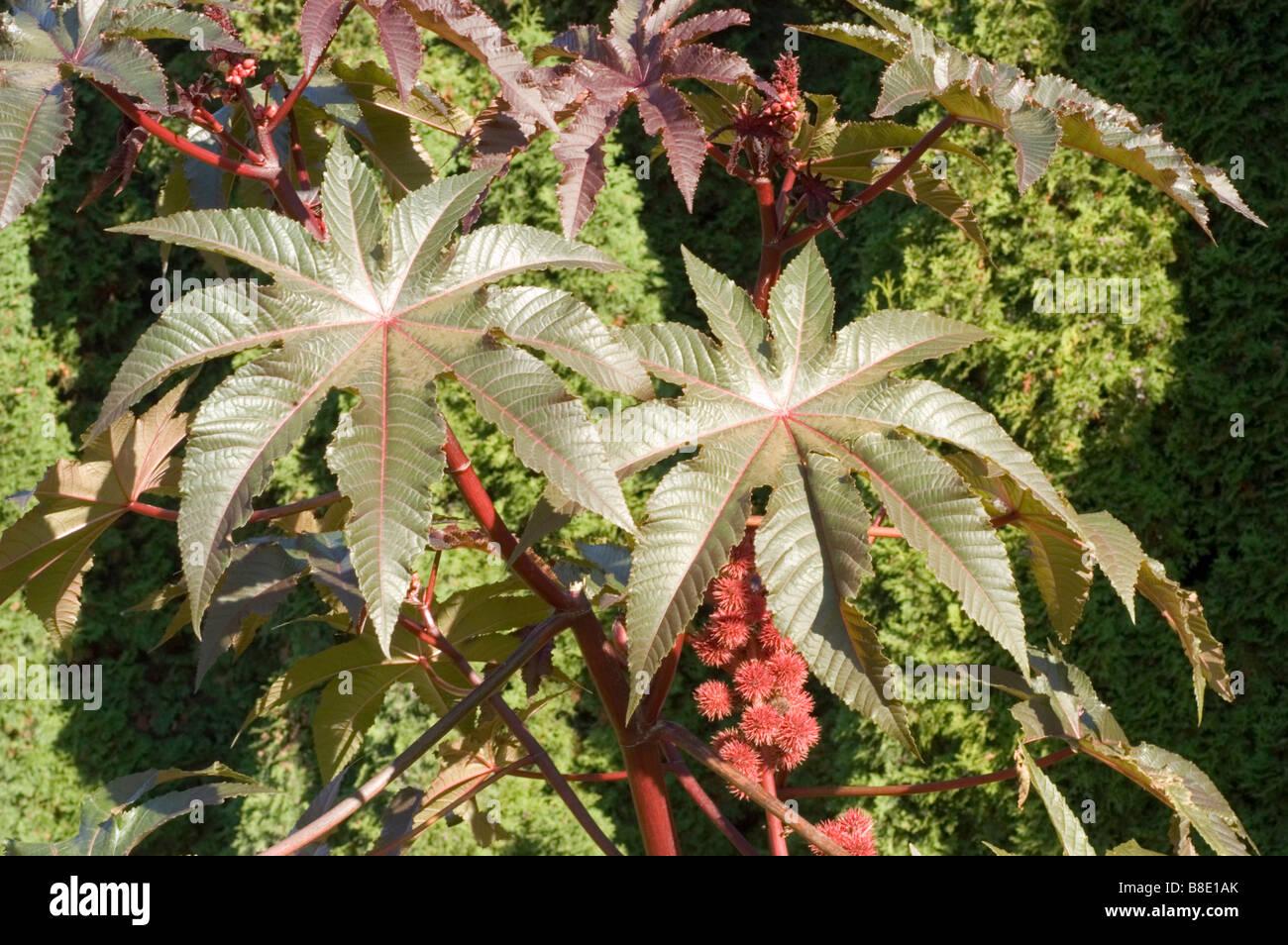 bl tter und rote fr chte der pflanze rizinuspflanze oder rizinus l euphorbiaceae ricinus. Black Bedroom Furniture Sets. Home Design Ideas