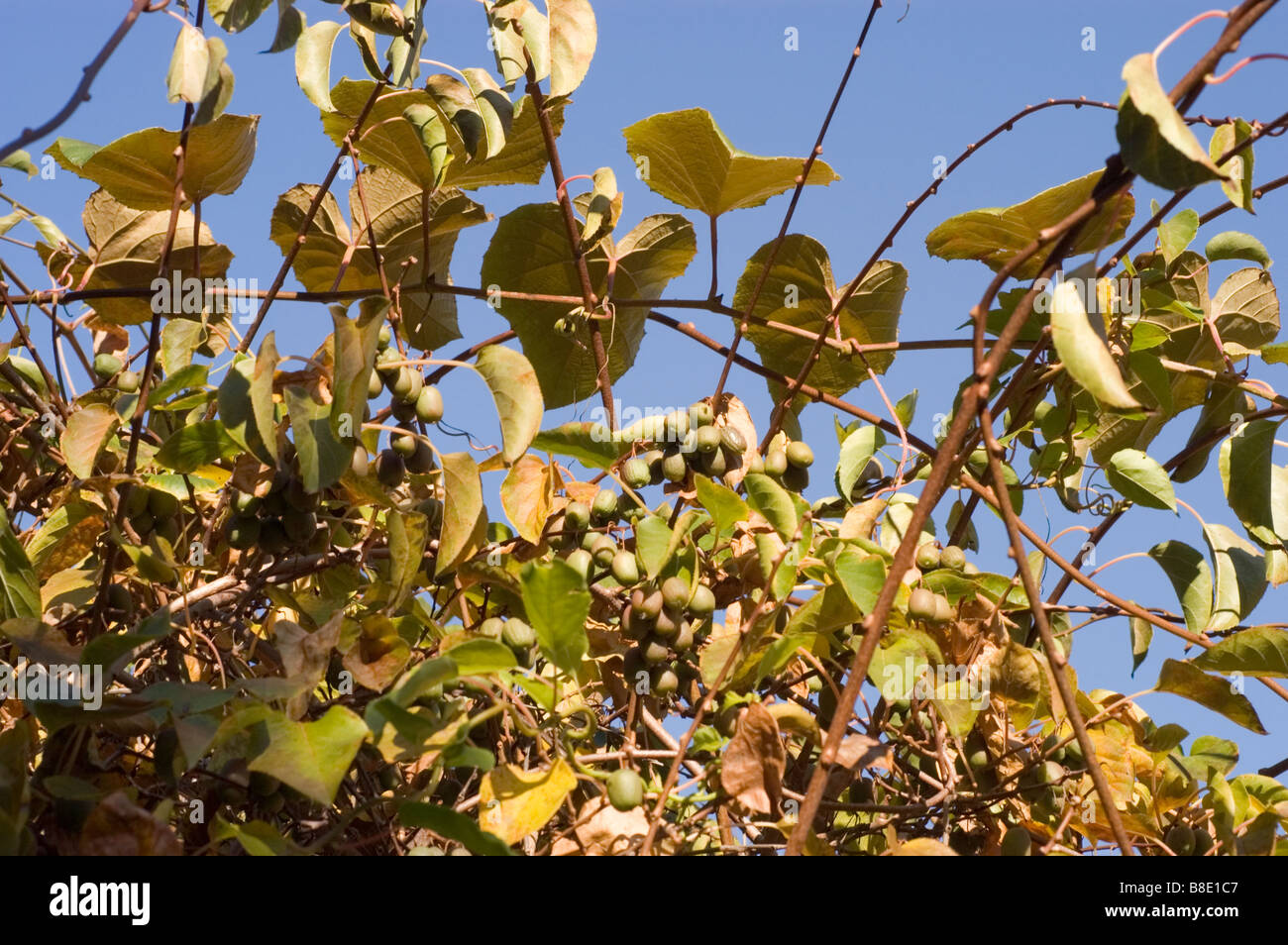 Actinidia Chinensis, Kiwis Stockbild