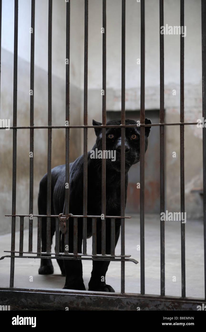 black panther im pekinger zoo im k fig stockfoto bild. Black Bedroom Furniture Sets. Home Design Ideas