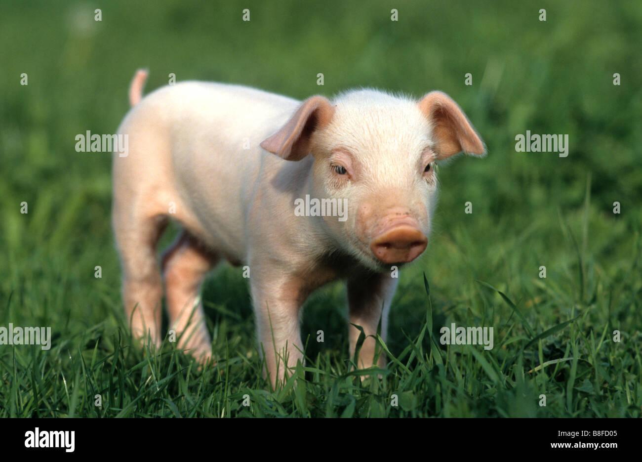 Hausschwein (Sus Scrofa Domestica), Ferkel, stehend im Rasen Stockbild