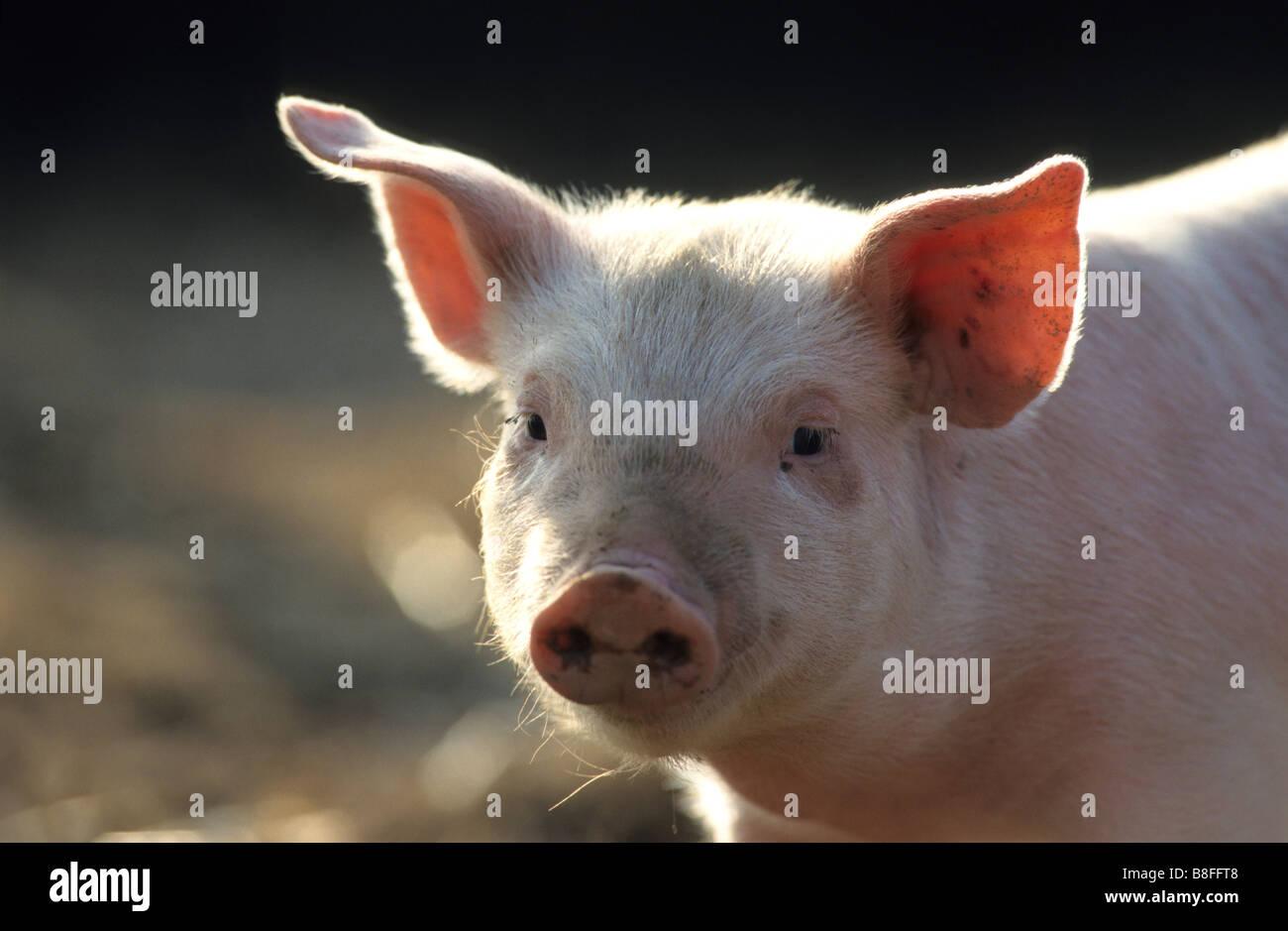 Hausschwein (Sus Scrofa Domestica), Ferkel, portrait Stockbild
