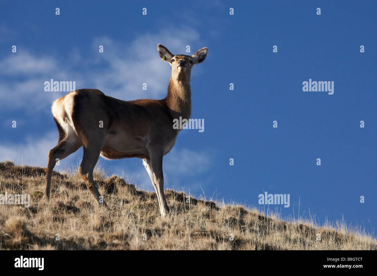 Rothirsch Cervus Elaphus Deer Park Heights Queenstown Neuseeland Südinsel Stockbild