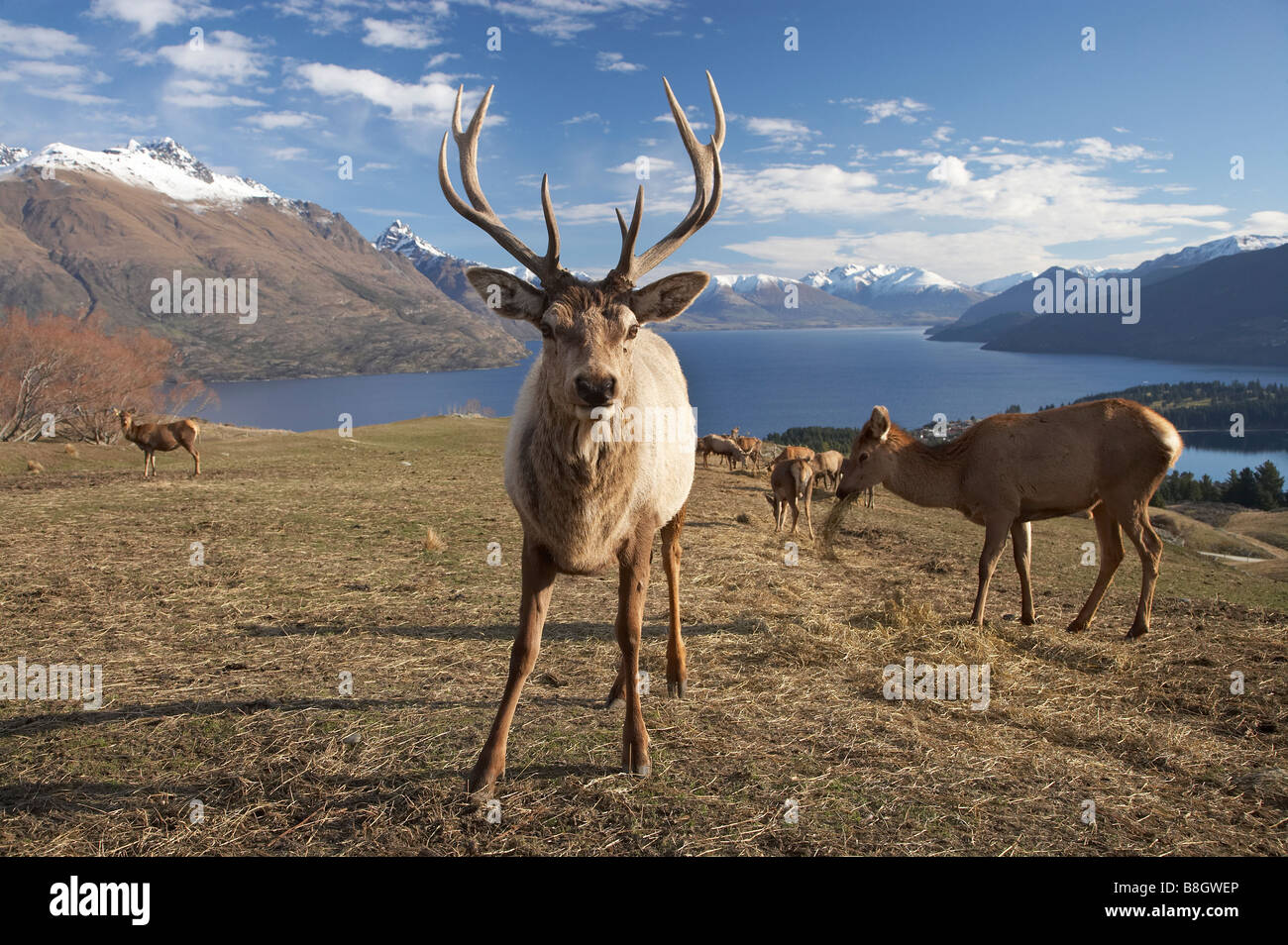 Rothirsch Cervus Elaphus Deer Park Heights Queenstown Neuseeland Südinsel Stockfoto