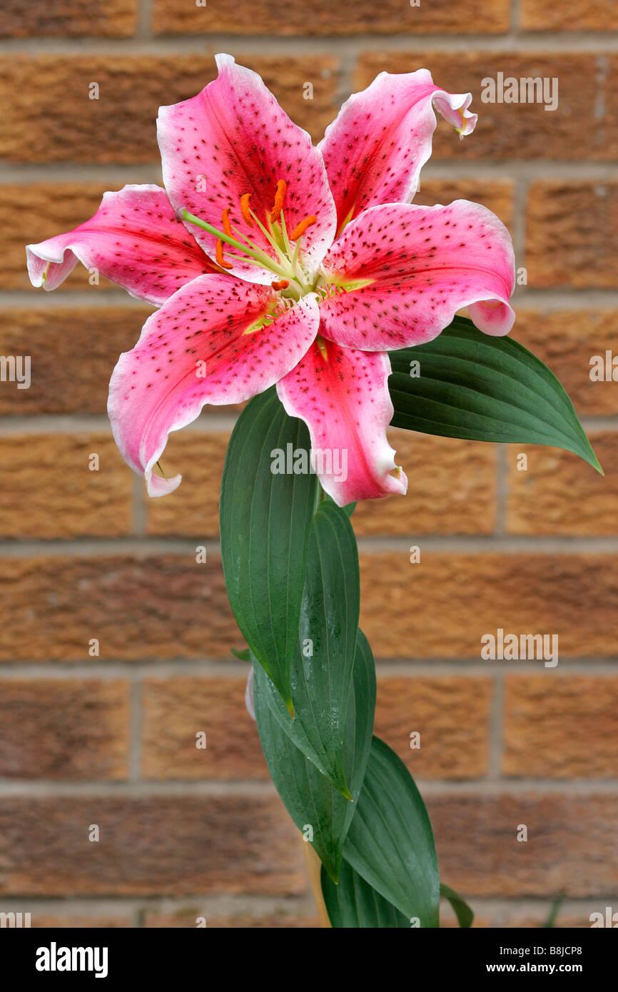 Lilium Abstrakt Klose, Detail Ball Blüte Blüte Pflanze Variablen Dahlie atmosphärischen launisch Stockbild