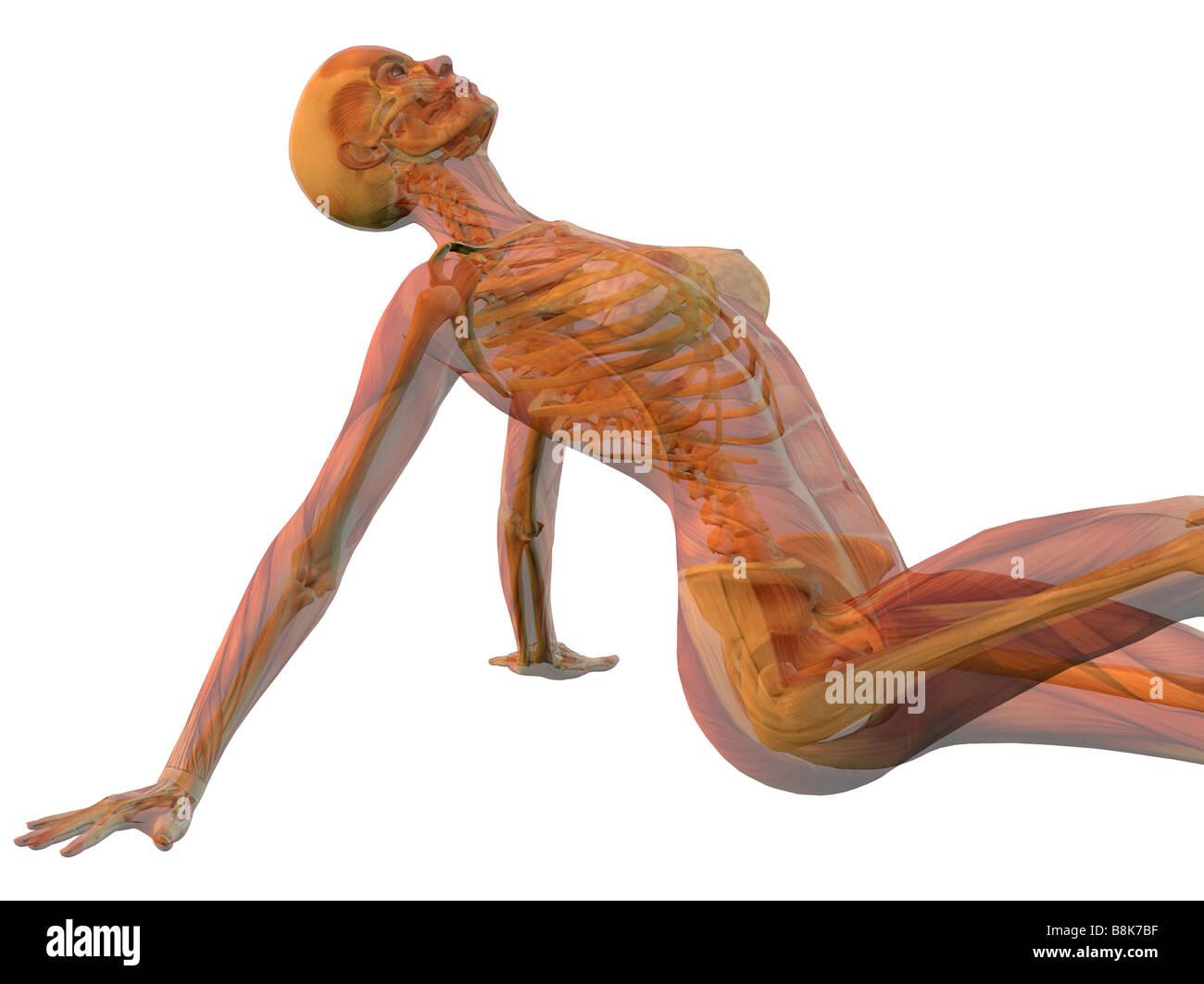 Frau sitzt mit Skelett und Muskeln isolierten auf weißen Hintergrund ...