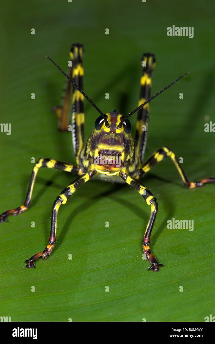 Heuschrecke Tropidacris Cristata Costa Rica Stockbild