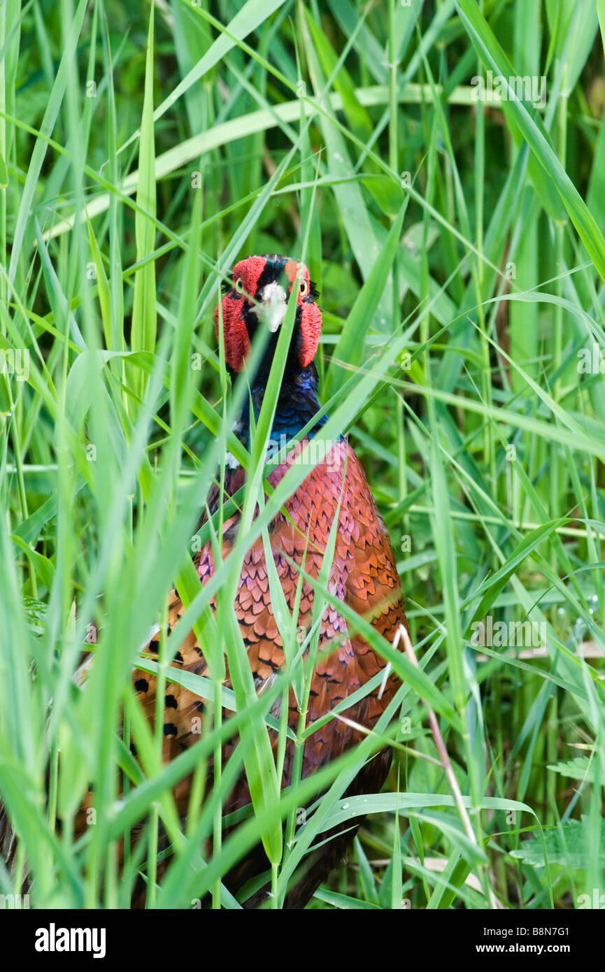 Fasan Phasianus Colchius Norfolk Sommer Stockbild