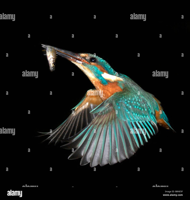 Eisvogel mit Fisch Stockbild