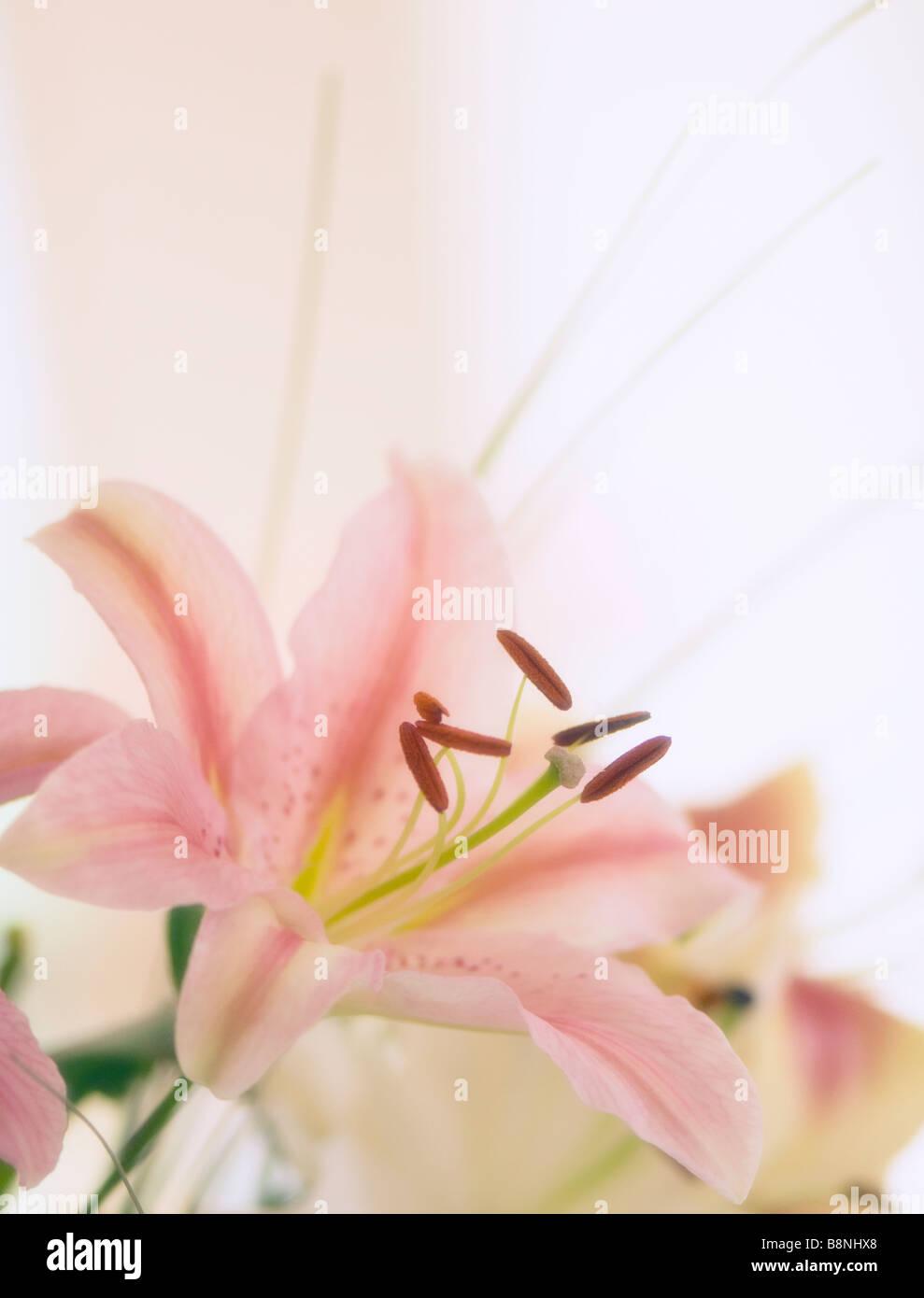 Rosa orientalische Lilie Bouquet Stockbild
