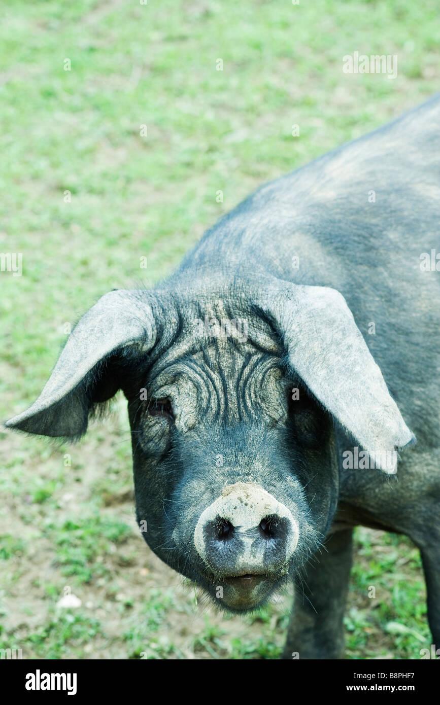 Schwarze Schwein, Blick in die Kamera Stockbild