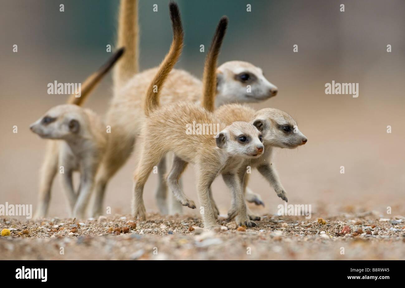 Afrika Namibia Keetmanshoop Meerkat Welpen Suricata Suricatta walking mit Erwachsenen außerhalb Fuchsbau in Stockbild