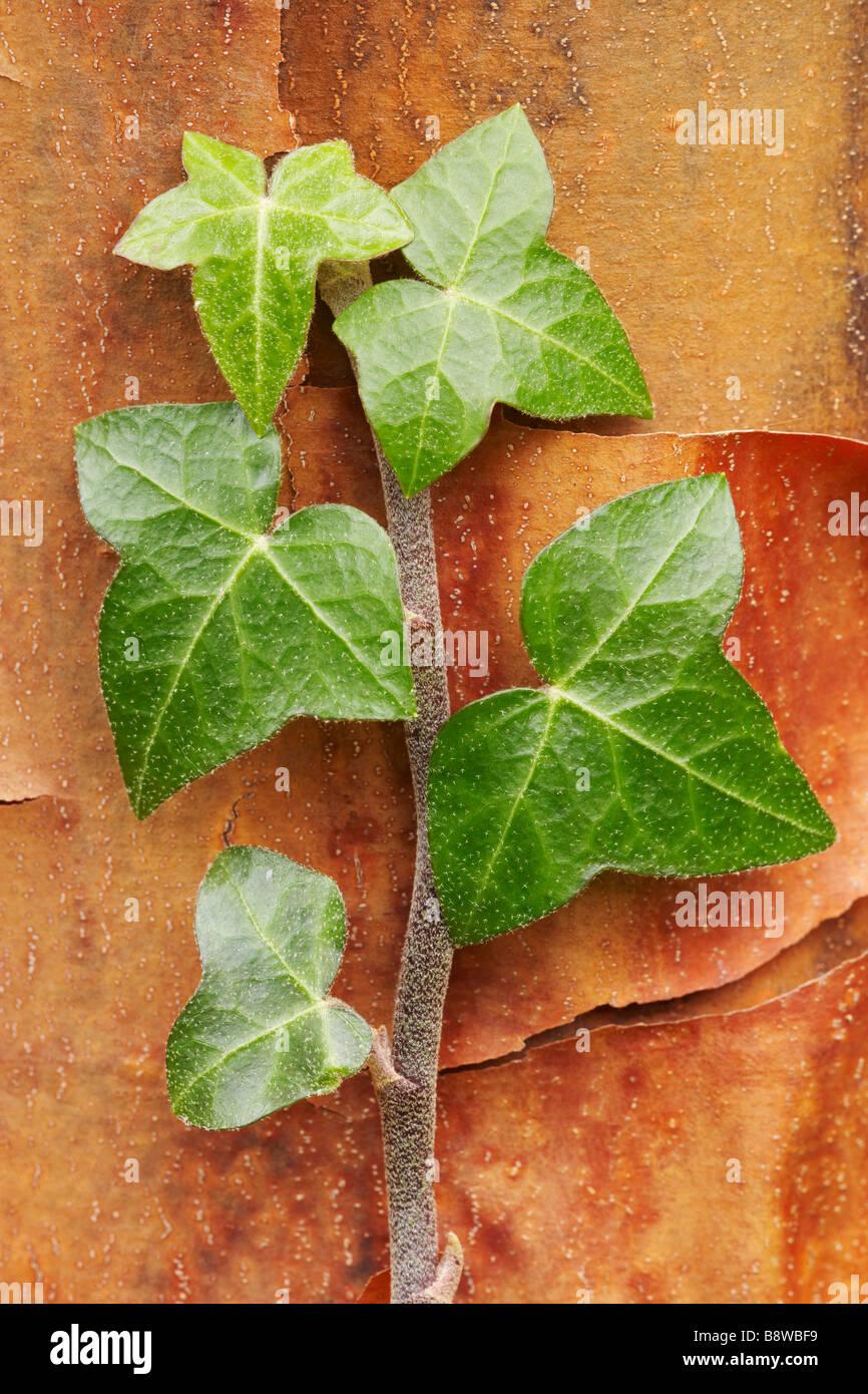 Gemeinsamen Efeu, Englisch Efeu (Hedera Helix), Ranke mit Blättern Stockbild