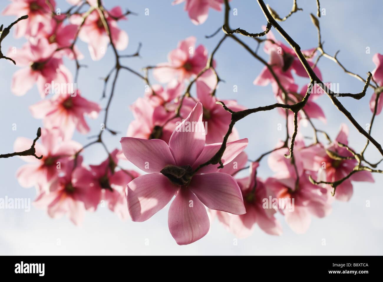 Magnolia Campbellii Kew s Überraschung blühen im Frühling im Garten am Lanydrock Cornwall Stockbild
