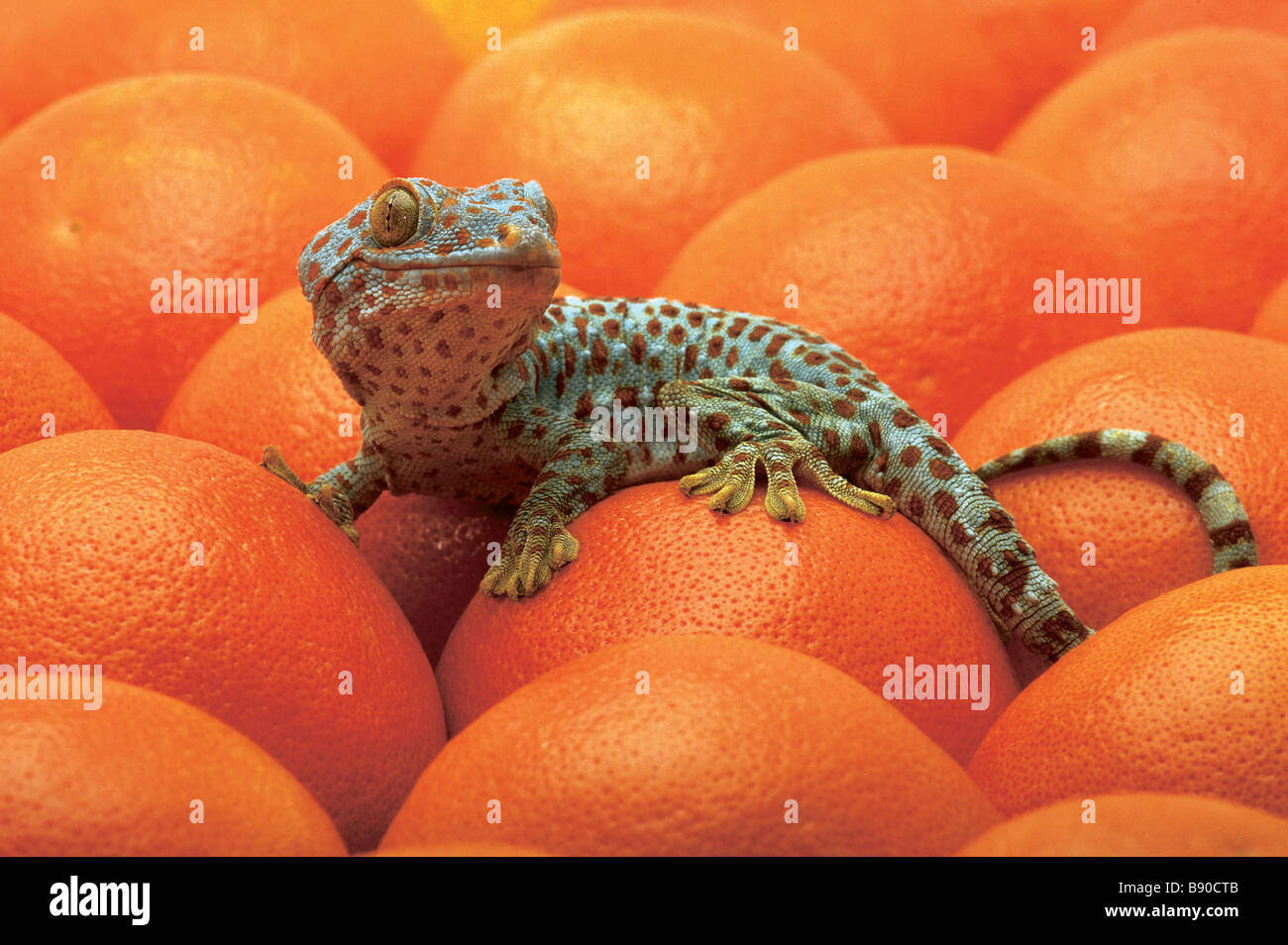 FL1179, Kitchin/Hurst; Gefleckte Eidechse Orangen Stockbild
