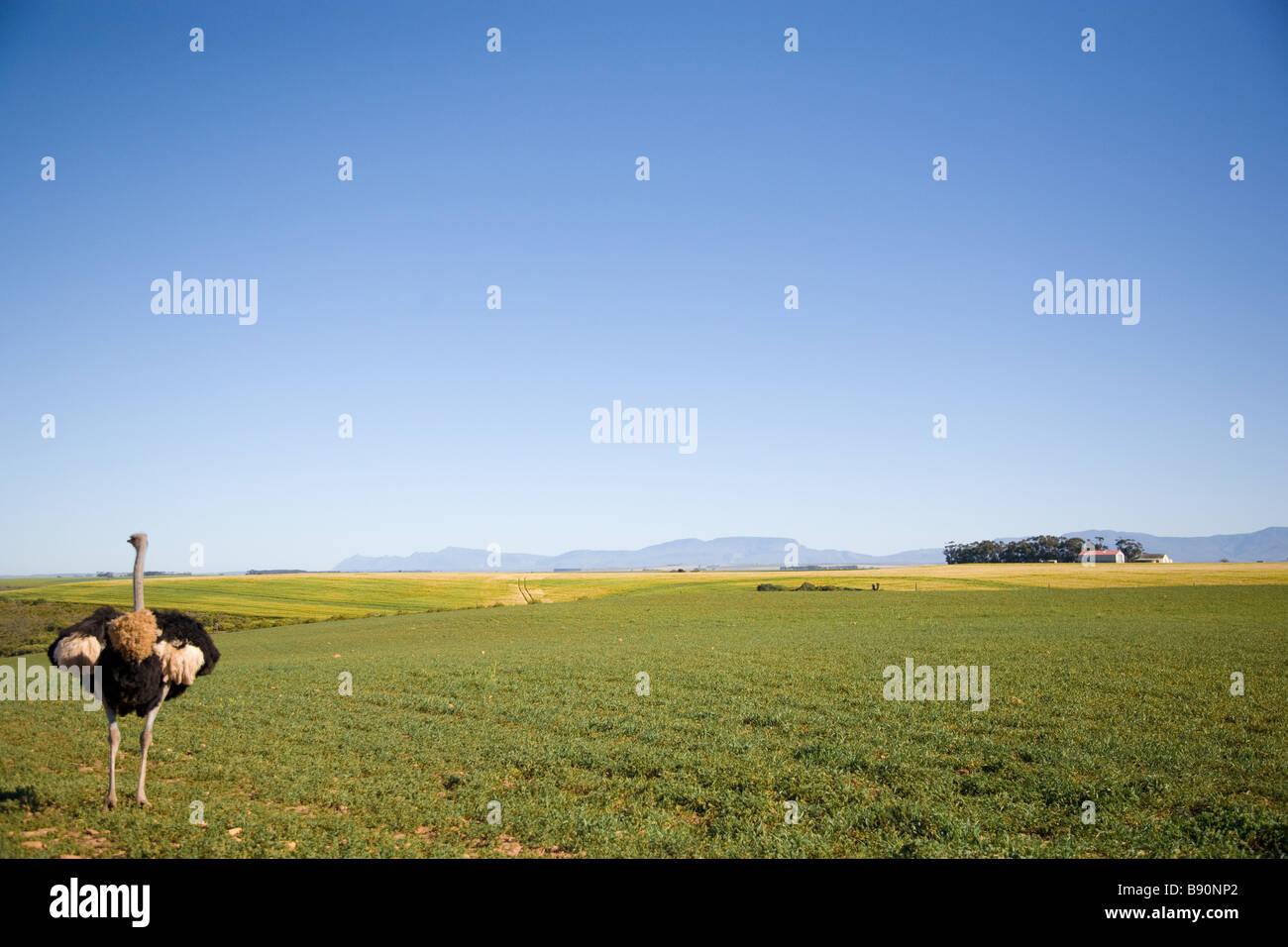 Strauß auf Bauernhof Stockbild