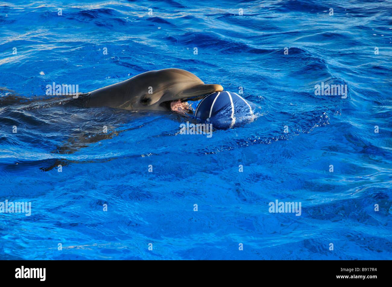 Atlantische große Tümmler spielen mit einem Ball in einem großen Behälter im Marineland Stockbild