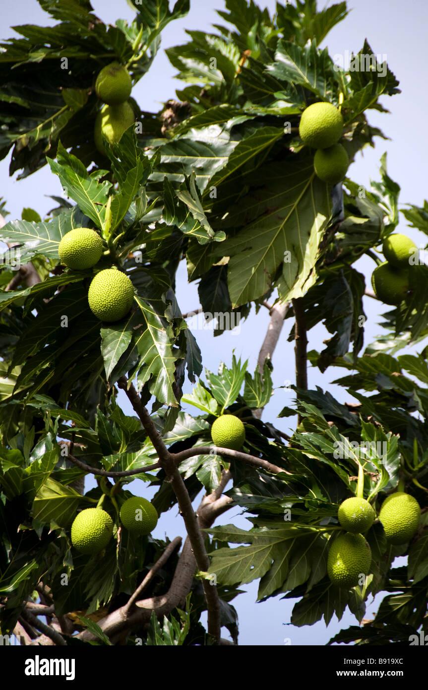 Brotfrucht Baum ländlichen big Corn island Nicaragua in Mittelamerika Stockbild