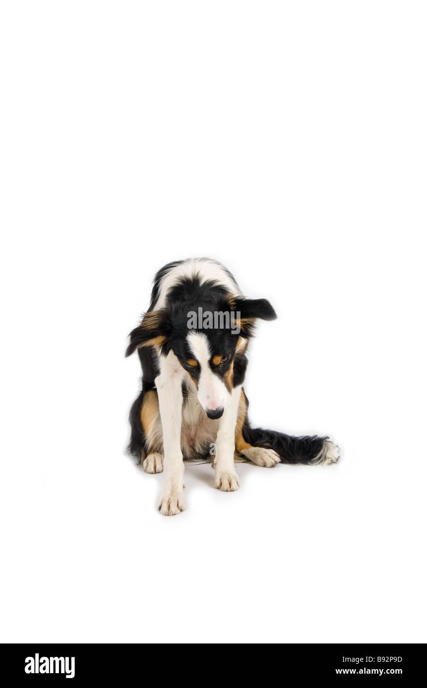 liebenswert schüchtern Hund im studio Stockbild