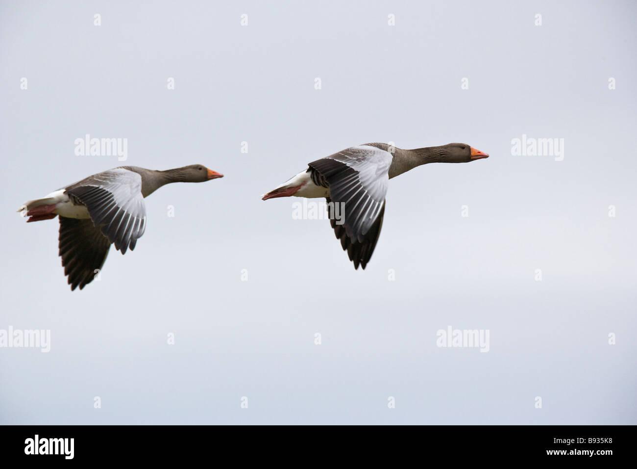 Grey-Lag Goose Ariser Anser Anatidae Stockfoto