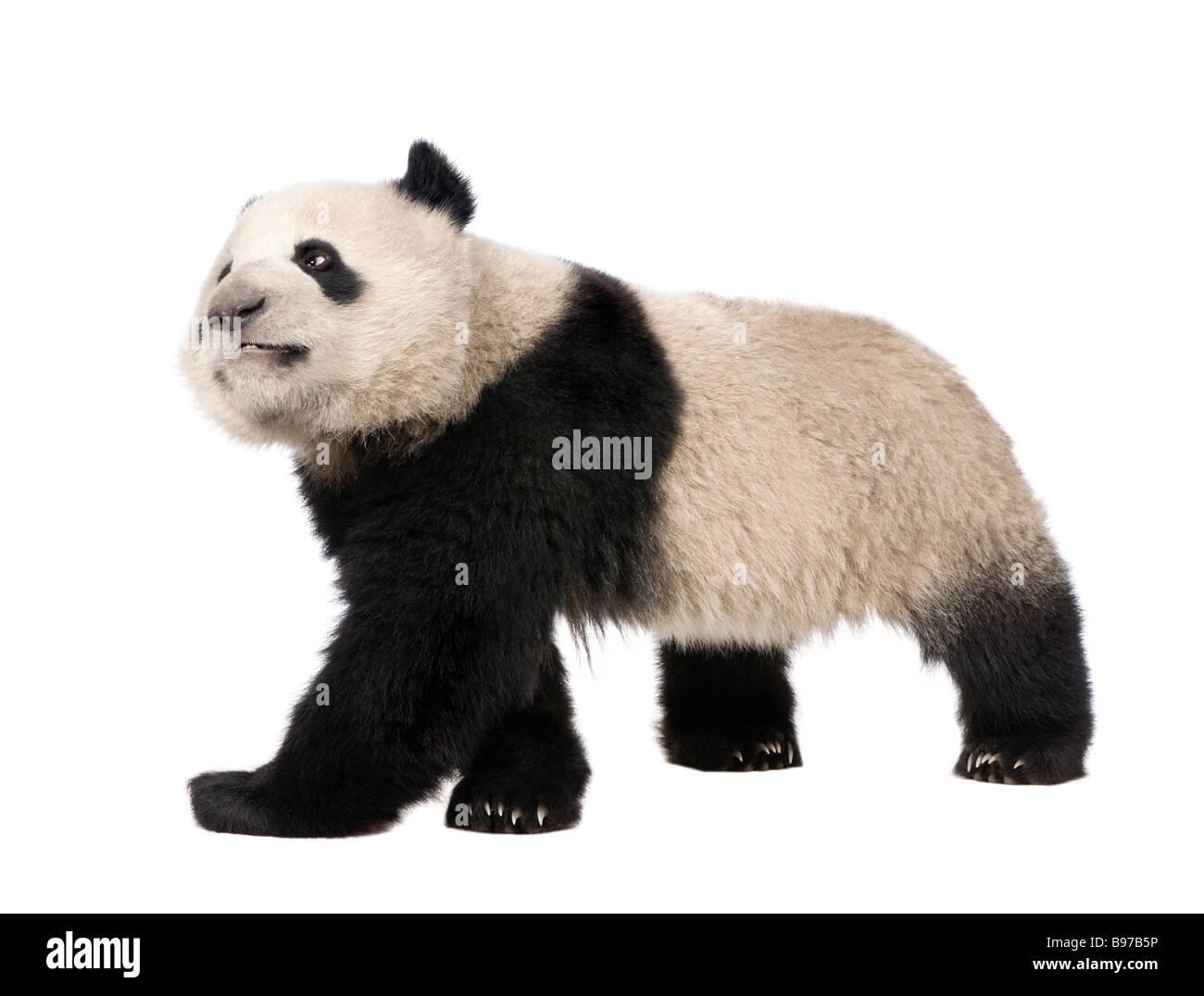 Giant Panda 18 Monate Ailuropoda Melanoleuca vor einem weißen Hintergrund Stockbild