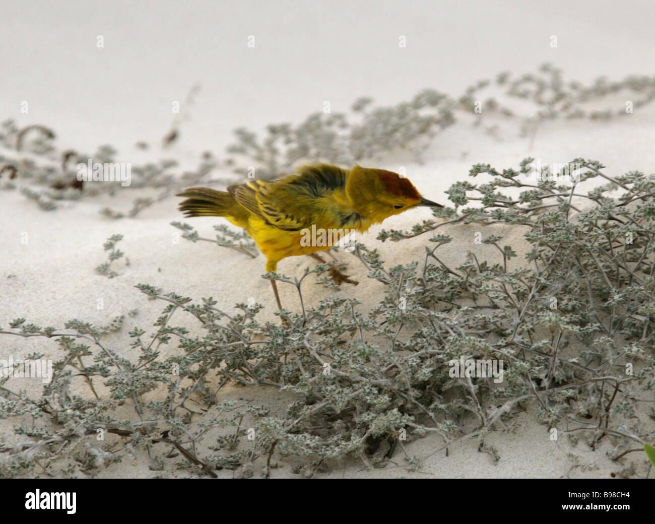 Mangroven oder Gelben Warbler, Dendroica Petechia Aureola, San Cristobal Insel, Galapagos-Inseln, Ecuador, Südamerika Stockbild